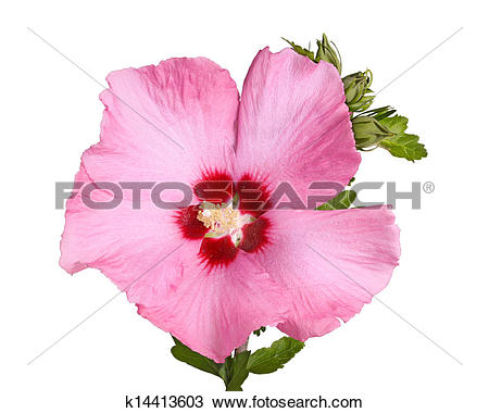 Stock Photo of Flower and buds of Rose of Sharon on white.