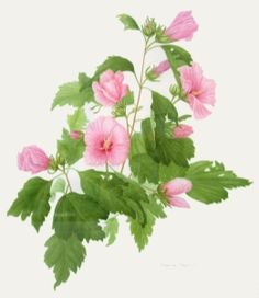 Rose of sharon clipart.