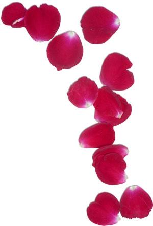Rose Petals Clipart#2069921.