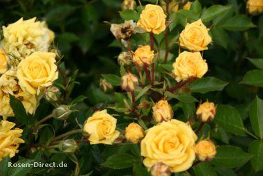 Rosensorten, Duftrosen Son.