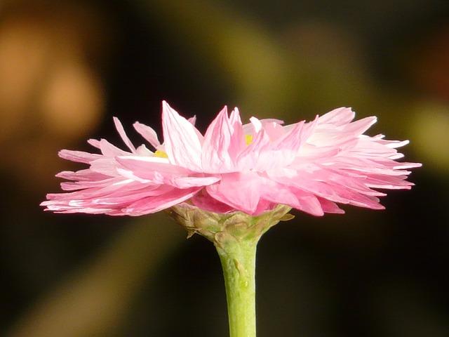 免费照片: 太阳翼, 花, 开花, 粉红色, 白, 黄色.