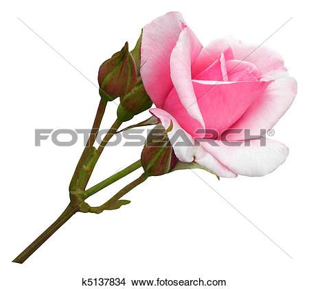 Pictures of woman biting on rose stem k0348458.