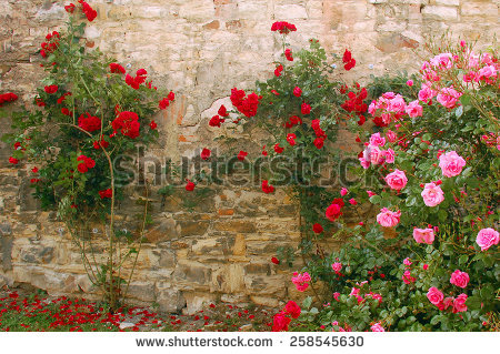 Rosebush Stock Photos, Royalty.