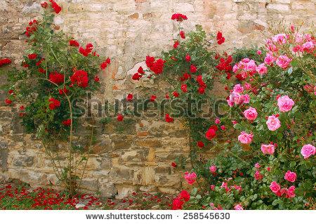 Rosebush Stock Photos, Royalty.