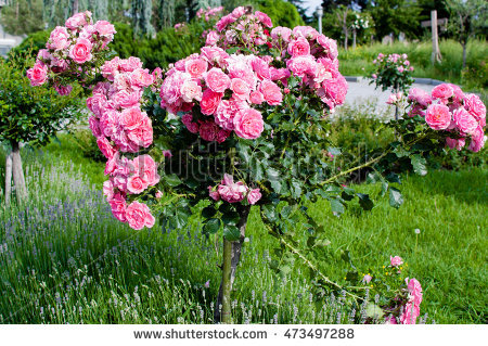 Rose Tree Stock Photos, Royalty.