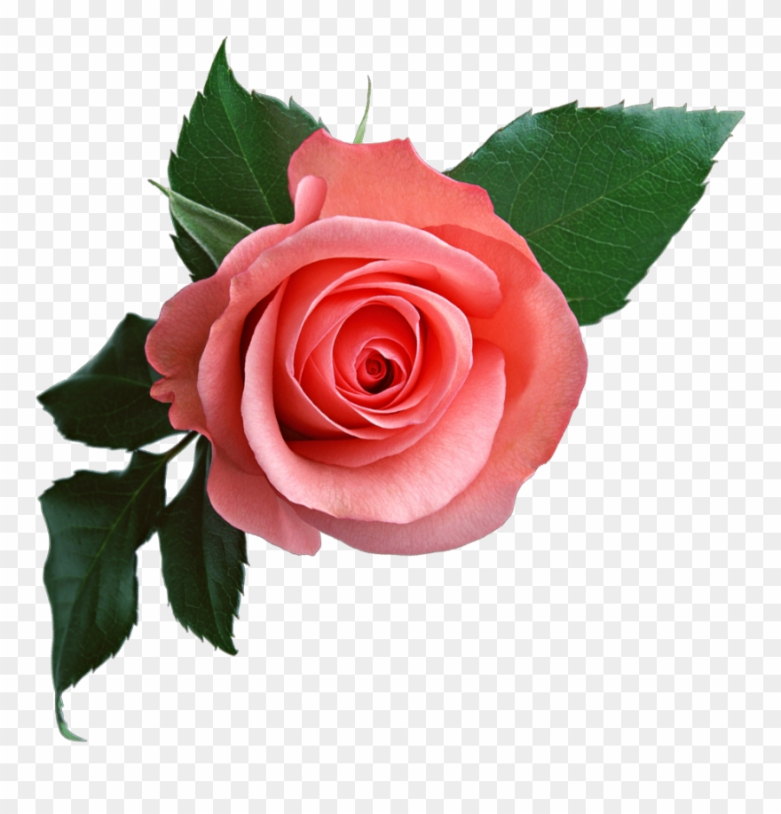 Pink Rose Png Flower Clipart.