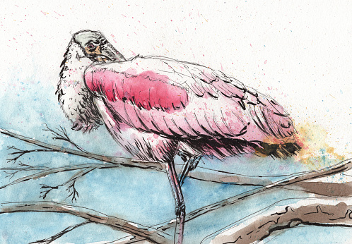 Roseate Spoonbill Clip Art, Vector Images & Illustrations.