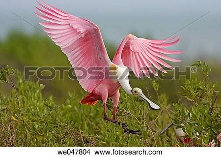 Stock Photo of Roseate Spoonbill (Ajaia ajaja). we047804.