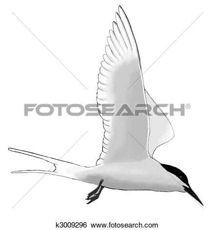 Stock Illustration of Roseate Tern k3009296.