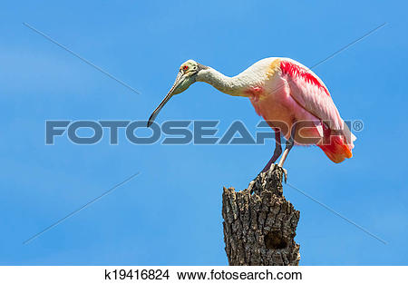 Stock Photo of Roseate Spoonbill on Tree Trunk k19416824.