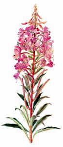 Free Rosebay Willow Clipart.