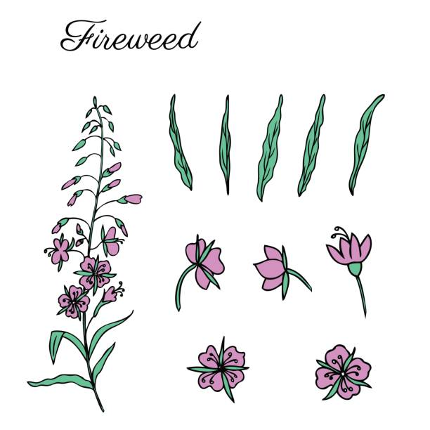 Drawing Of Fireweed Clip Art, Vector Images & Illustrations.