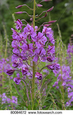 Stock Photo of DEU, 2008: Fireweed, Rosebay Willow Herb (Epilobium.