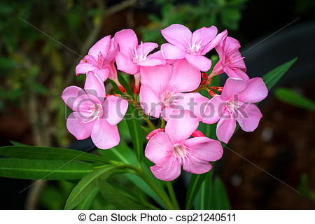 Stock Photography of Sweet oleander, Rose bay flower with leave.