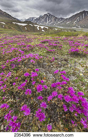 Stock Images of Spring Blooming Lapland Rosebay Colors The Tundra.