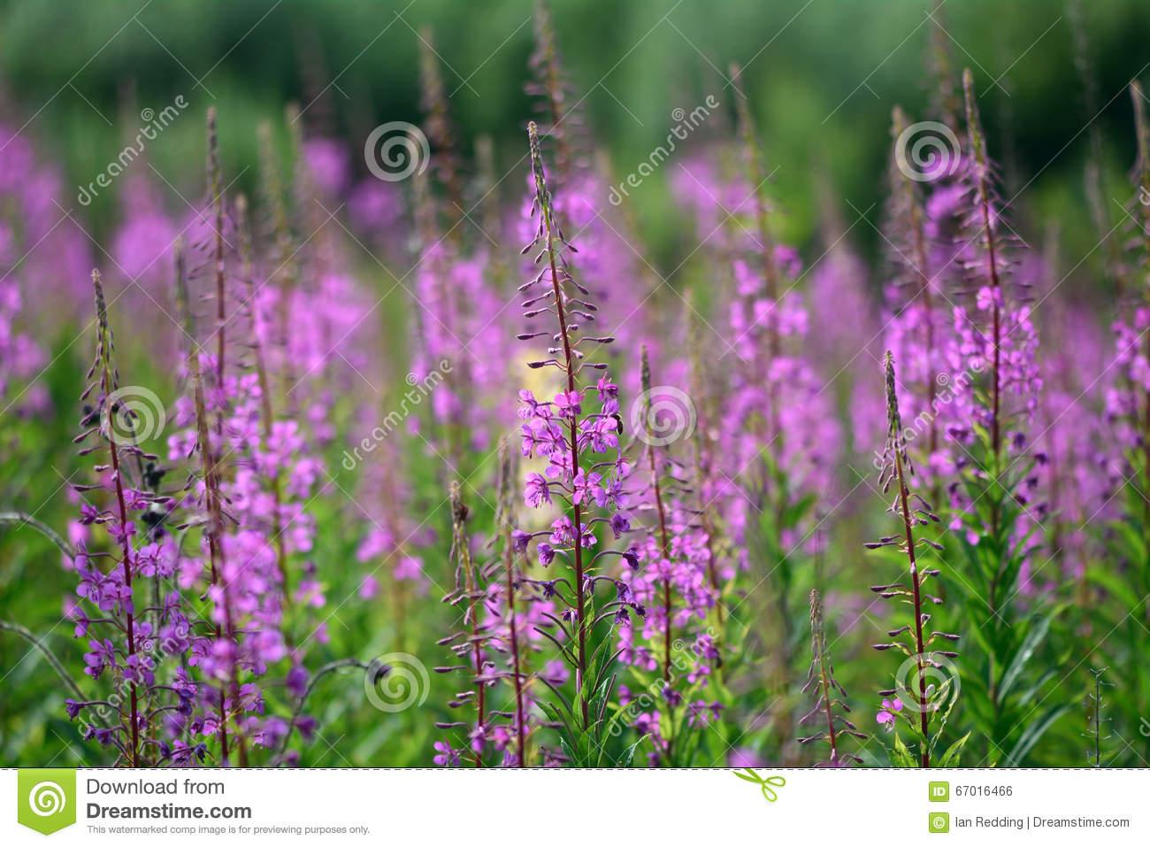 Rosebay Willowherb (Chamerion Angustifolium) Plants In Flower.