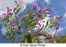 Pictures of Rosebay Willowherb at Llanishen Reservoir csp4350498.