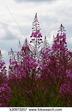 Picture of Some flowers Rosebay Willowherb or Fireweed k20973257.