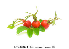 Rosehip Stock Illustrations. 25 rosehip clip art images and.