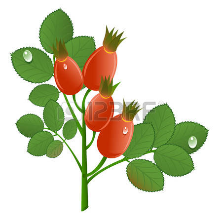 120 Dog Rose Hips Stock Vector Illustration And Royalty Free Dog.