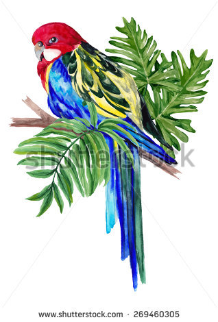 Rosellas Stock Photos, Royalty.
