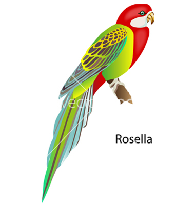 Gallery For > Rosella Clipart.