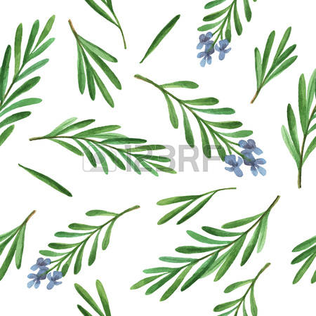 2,902 Rosemary Stock Vector Illustration And Royalty Free Rosemary.