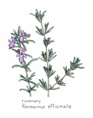 rosemary illustration.