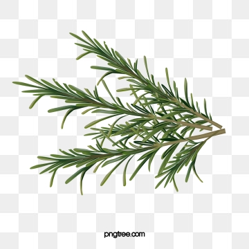 Rosemary Png, Vector, PSD, and Clipart With Transparent.
