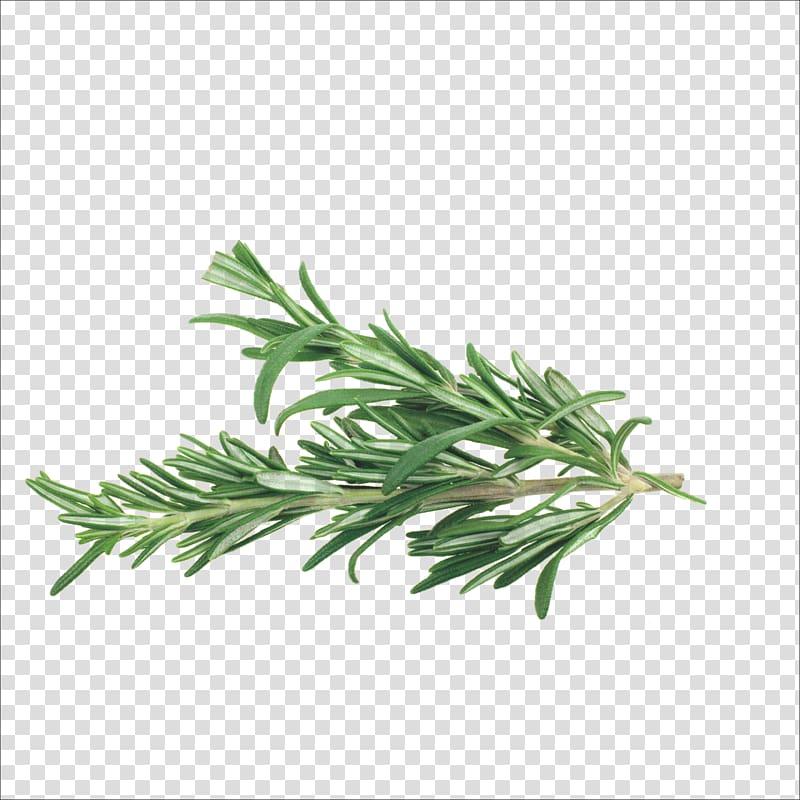 Green plant, Rosemary Herb Mediterranean cuisine Spice.