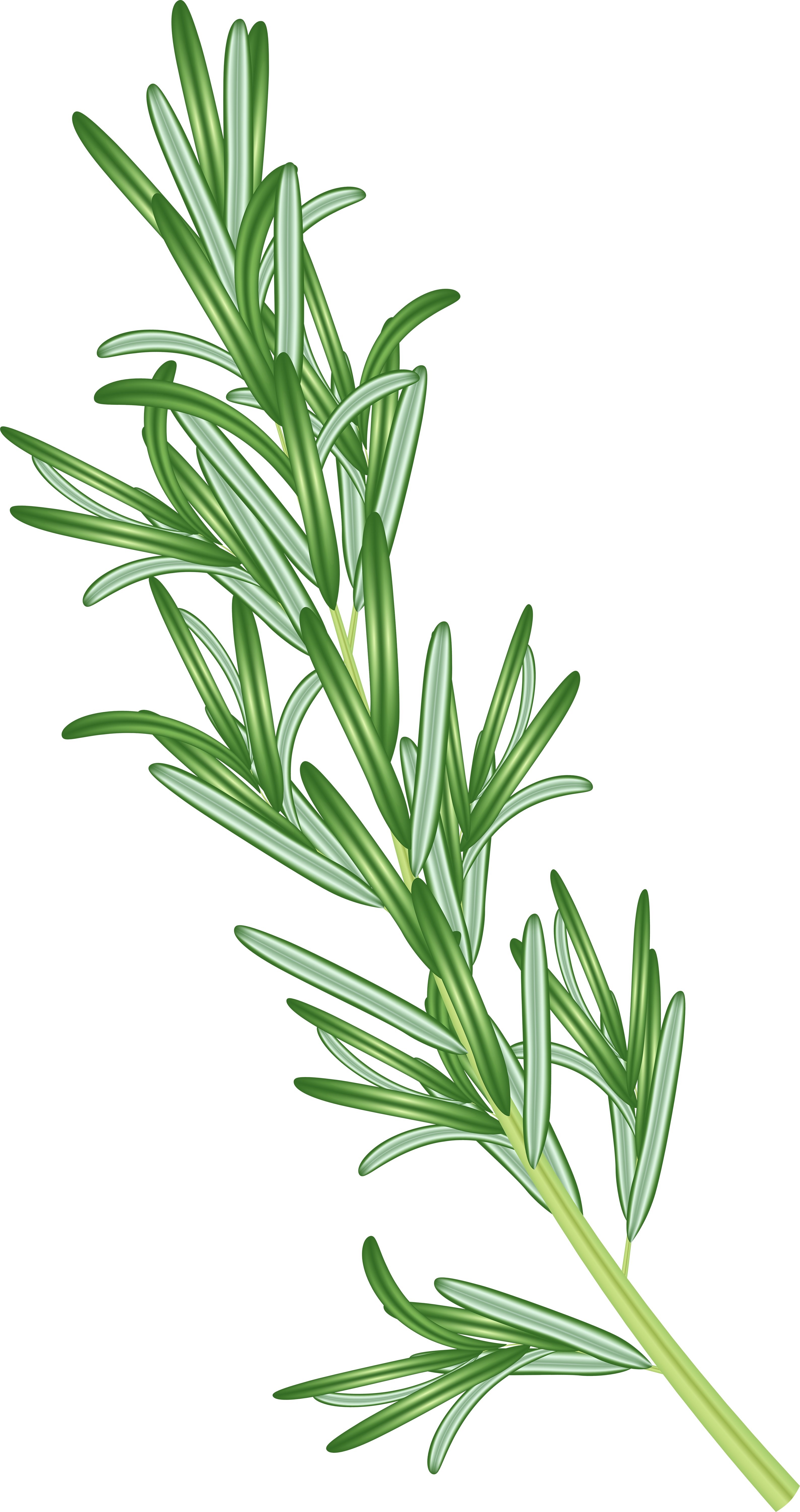 Rosemary Herb PNG Clipart.