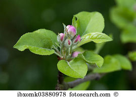 Malus domesticus Stock Photo Images. 20 malus domesticus royalty.