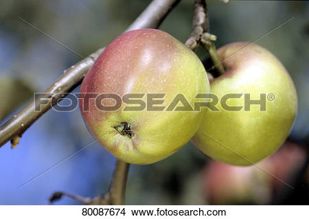 Stock Photo of DEU, 2005: Apple (Malus domestica), variety: Roter.