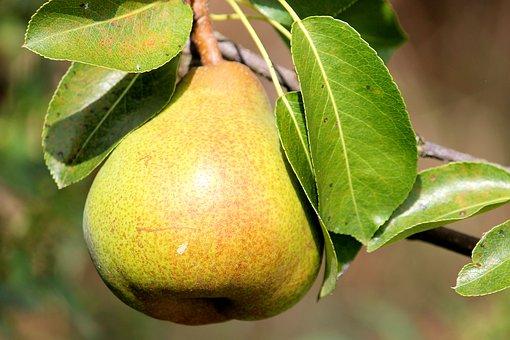 Pear, Tree.
