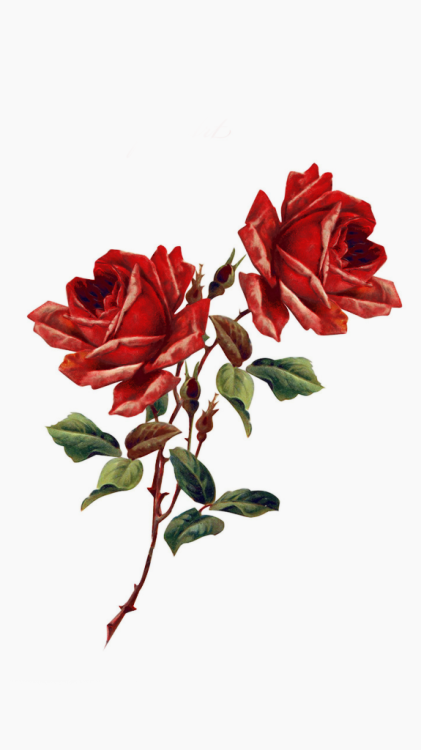 Rose Png Tumblr (101+ images in Collection) Page 3.