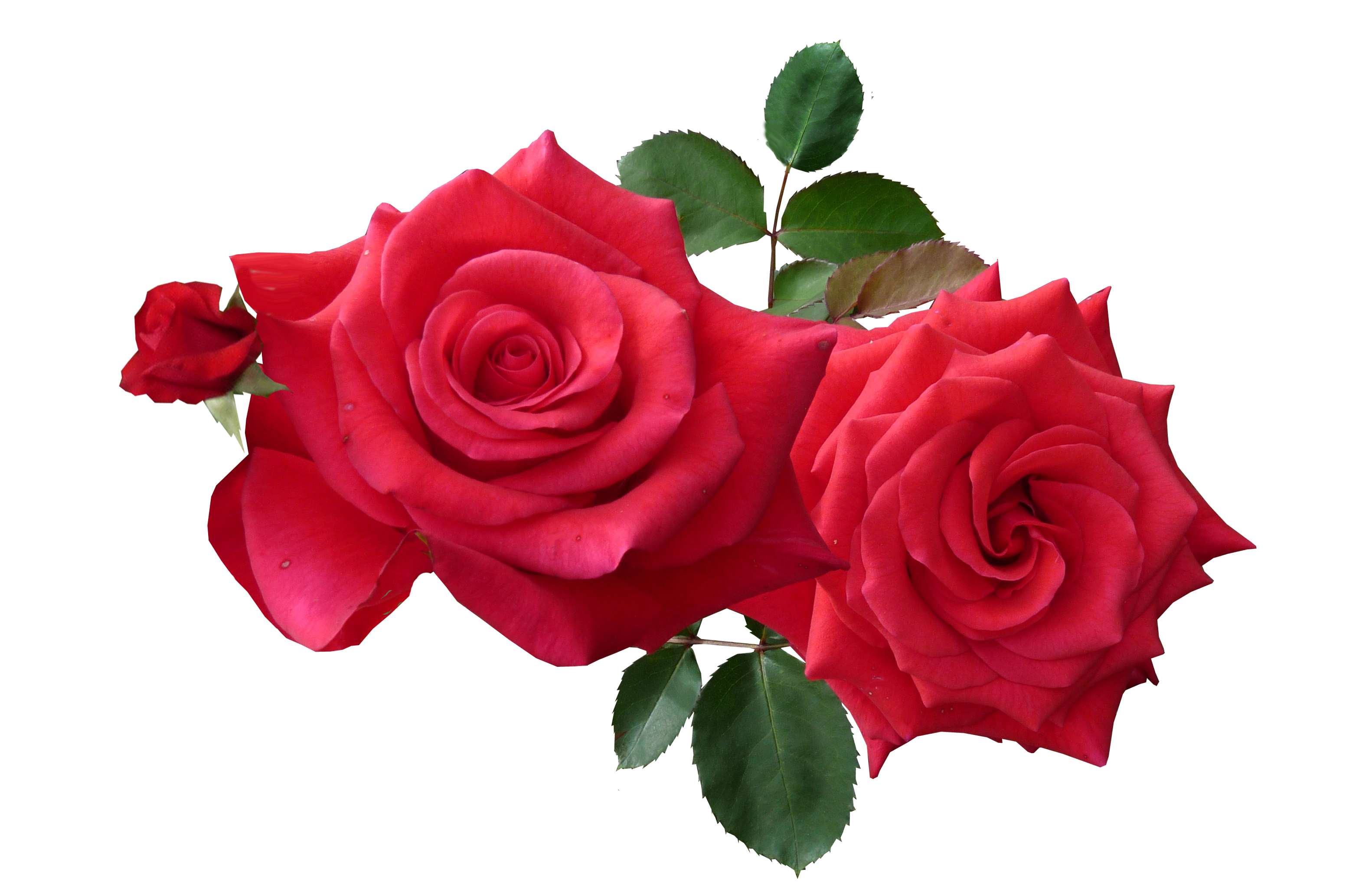 Red Roses PNG Image.