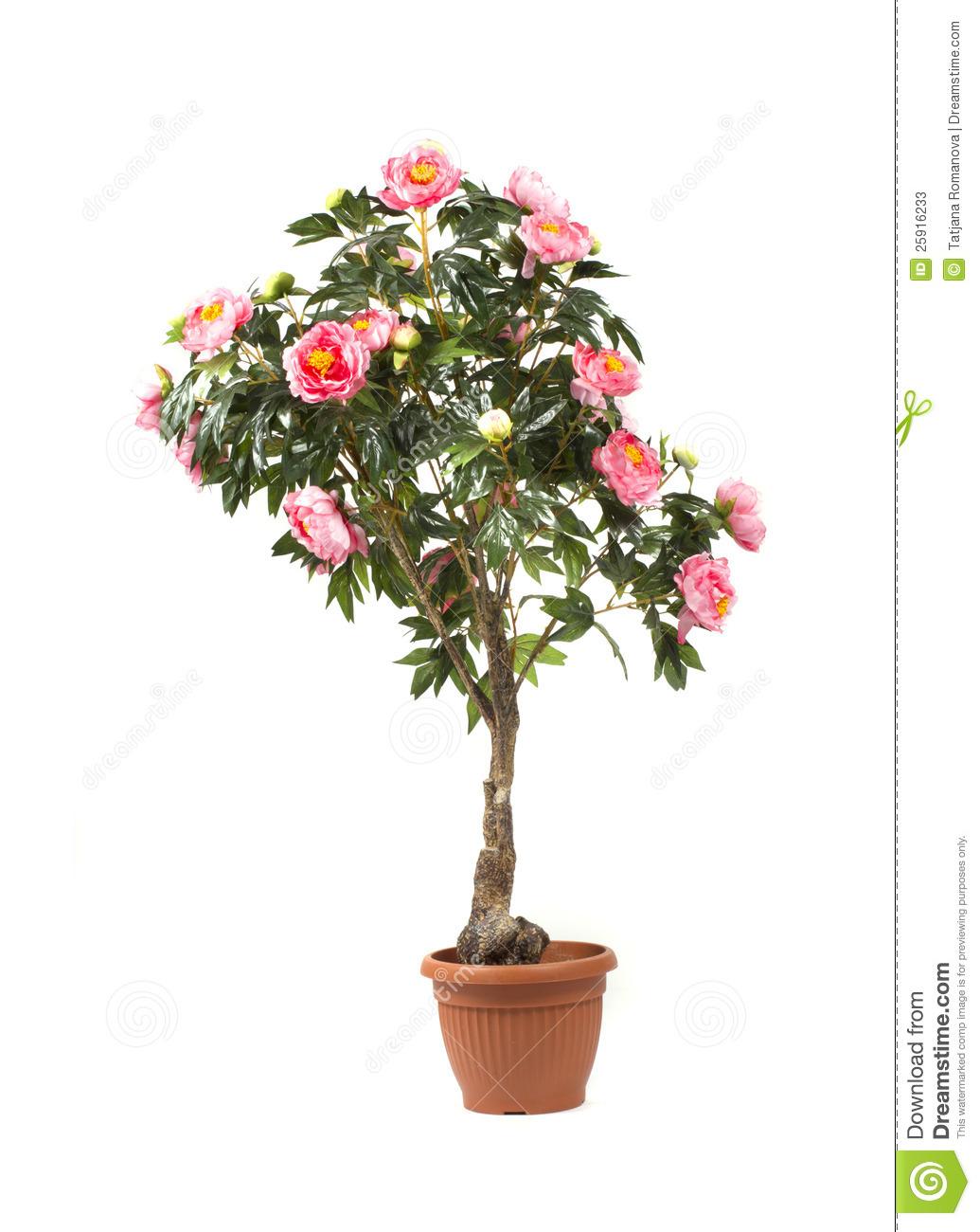 Rose Tree In A Pot Stock Photos.