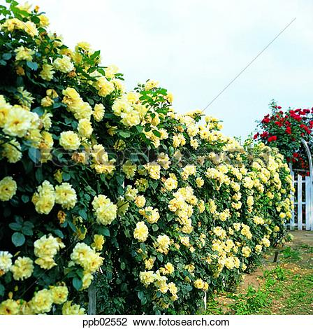 Yellow Rose Tree Clipart.
