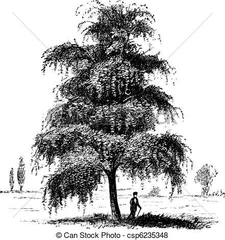 Vector of Birch or Betula, tree, vintage engraving..