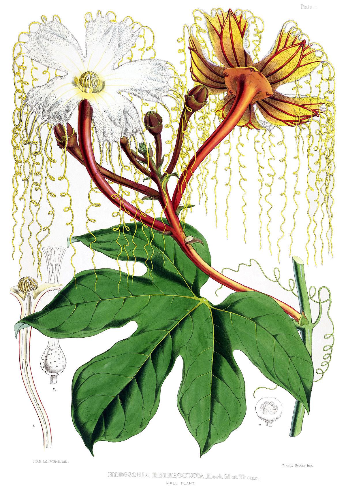 Cucurbitaceae.