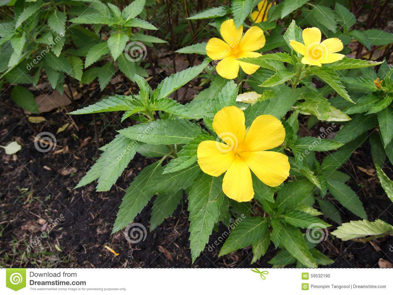 Sage Rose,Turnera Subulata, Yellow Alder Stock Photo.