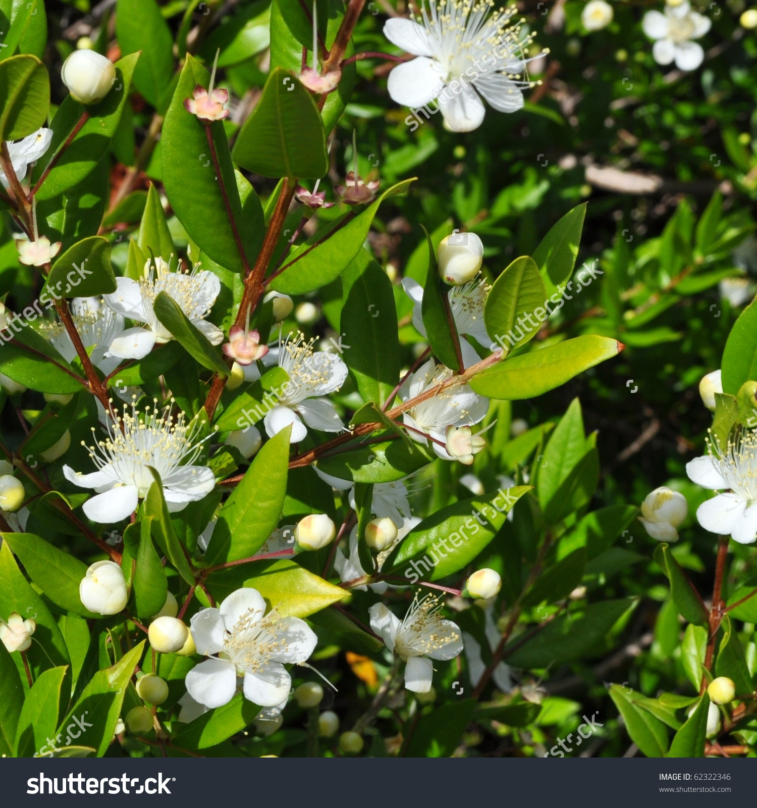 Myrtus Myrtle Plantae Angiosperms Eudicots Rosids Stock Photo.