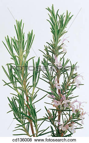 Pictures of Rosemary (Rosmarinus officinalis) cd136008.