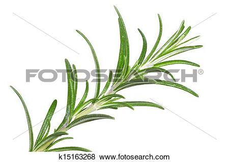 Pictures of Rosemary (Rosmarinus officinalis) k15163268.