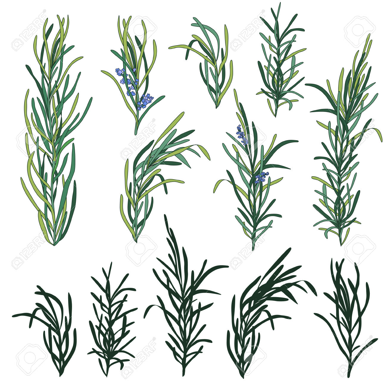 2,473 Rosemary Herb Stock Vector Illustration And Royalty Free.