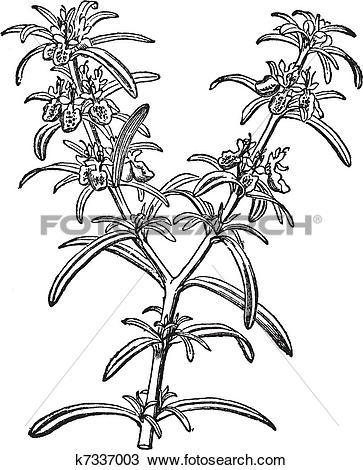 Clipart of Rosemary or Rosmarinus officinalis vintage engraving.