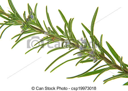 Stock Photography of Rosemary (Rosmarinus officinalis.