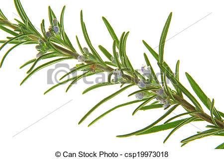 Stock Photography of Rosemary (Rosmarinus officinalis.