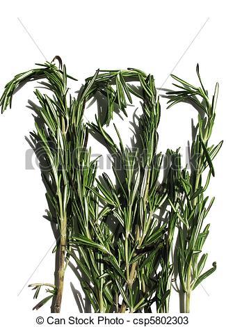 Stock Photos of Rosemary (Rosmarinus officinalis) of the family.