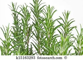 Rosmarinus officinalis Stock Photo Images. 2,148 rosmarinus.
